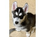 Small Photo #2 Siberian Husky Puppy For Sale in MORGANTOWN, IN, USA