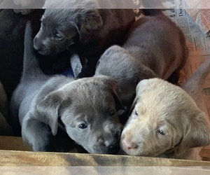 Labrador Retriever Puppy for sale in HENDERSONVILLE, TN, USA