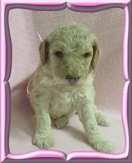 Poodle (Standard) Puppy For Sale in RHOME, TX