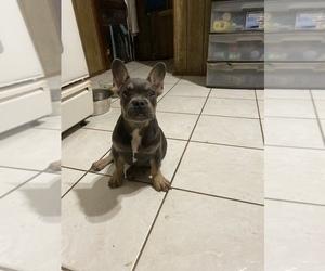French Bulldog Puppy for Sale in HAMDEN, Connecticut USA