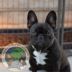Mother of the French Bulldog puppies born on 07/17/2018