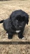 Newfoundland Puppy For Sale in CHILI, WI, USA