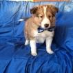 Adorable Sheltie puppy