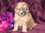Pomsky Puppy For Sale in MOUNT JOY, PA, USA