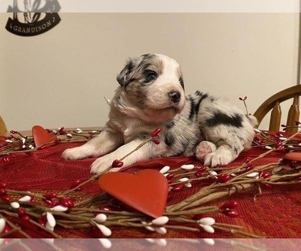 View Ad: Australian Shepherd Puppy for Sale near In India