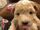 Coton de Tulear-Poodle (Toy) Mix Puppy For Sale in GREENVILLE, MI, USA
