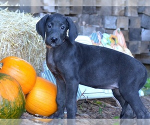 Great Dane Puppy for sale in CADILLAC, MI, USA