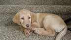 Labrador Retriever Puppy For Sale in COLORADO SPRINGS, CO, USA