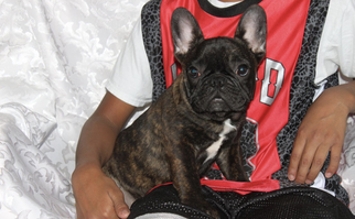 French Bulldog Puppy for sale in NORTH VERNON, IN, USA