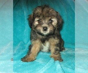 YorkiePoo Puppy for sale in LINCOLN, AL, USA