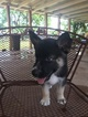 German Shepherd Dog-Siberian Husky Mix Puppy For Sale in MIAMI, FL, USA