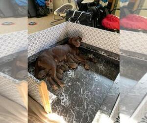 Labrador Retriever Puppy for sale in BERLIN, MD, USA