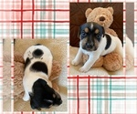 Puppy 3 Parson Russell Terrier
