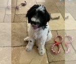 Puppy 0 F2 Aussiedoodle