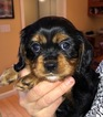 Cavalier King Charles Spaniel Puppy For Sale in RICHMOND, VT, USA