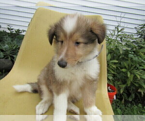Collie Puppy for sale in SOUTH BEND, IN, USA