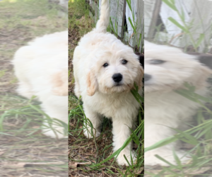 Golden Retriever-Poodle (Toy) Mix Puppy for sale in ROWLEY, MA, USA