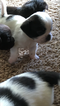 ShiChi Puppy For Sale in CAYUGA, IN