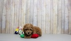 Poodle (Toy) Puppy For Sale in PORTSMOUTH, OH, USA