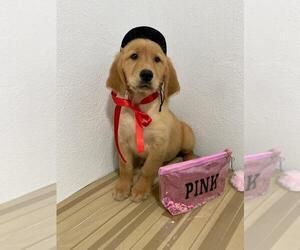 Golden Retriever Puppy for sale in SAN DIEGO, CA, USA