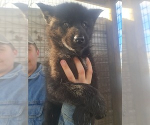 Wolf Hybrid Puppy for sale in DALTON, OH, USA