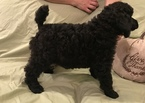 Poodle (Standard) Puppy For Sale in AMARILLO, TX, USA