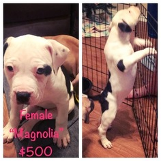 American Bulldog Puppy For Sale in LEAGUE CITY, TX, USA