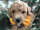 Poodle (Toy) Puppy For Sale in QUARRYVILLE, PA,