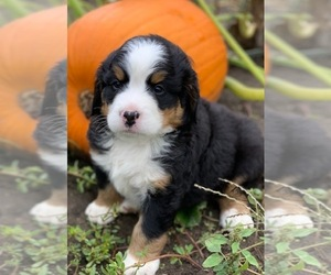 Bernese Mountain Dog Puppy for sale in WAVERLY, IA, USA