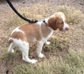 Brittany Puppy For Sale in LA GRANGE, TX, USA