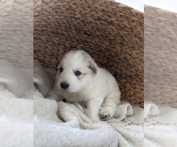 Medium Photo #15 Great Pyrenees Puppy For Sale in FALCON, CO, USA