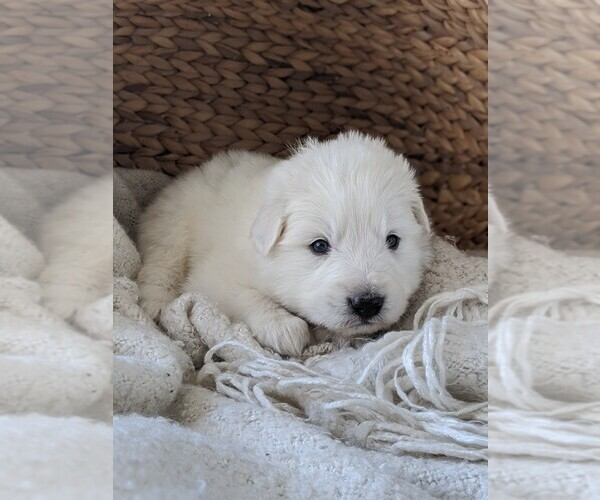 Medium Photo #35 Great Pyrenees Puppy For Sale in FALCON, CO, USA