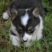 Pembroke Welsh Corgi Puppy For Sale in VEEDERSBURG, IN, USA