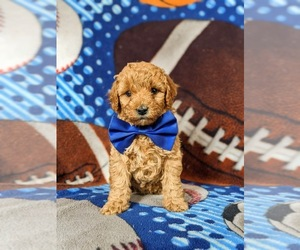 Cavapoo Puppy for sale in NEW PROVIDENCE, PA, USA