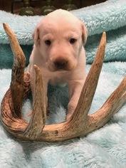 Labrador Retriever Puppy for Sale in LEASBURG, Missouri USA