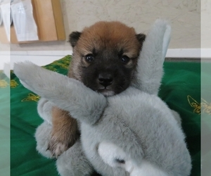 Shiba Inu Puppy for sale in NORWOOD, MO, USA