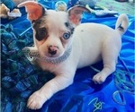 Puppy 2 French Bullhuahua