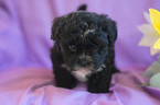 Shih-Poo Puppy For Sale in CUYAHOGA FALLS, OH, USA