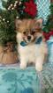 Pomeranian Puppy For Sale in EDEN, Pennsylvania,