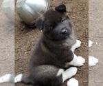 Small Photo #3 Akita Puppy For Sale in LAKEBAY, WA, USA