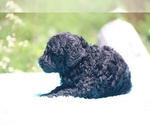Small #39 Poodle (Standard)