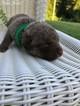 Chesapeake Bay Retriever Puppies For Sale