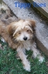 Morkie Puppy For Sale in AUBURN, CA, USA