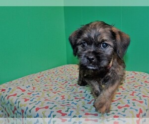 Shorkie Tzu Dog for Adoption in PATERSON, New Jersey USA