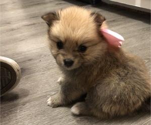 Pomeranian Puppy for sale in LEANDER, TX, USA