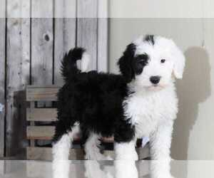 Sheepadoodle Puppy for sale in MOUNT VERNON, OH, USA