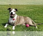 American Staffordshire Terrier-Chihuahua Mix Dog For Adoption near 90503, Torrance, CA, USA