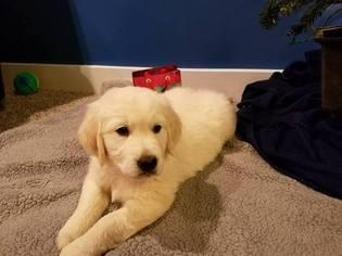 Golden Retriever Puppy For Sale in HUDSONVILLE, MI, USA
