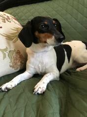 LuLu (courtesy post) - Dachshund / Fox Terrier / Mixed Dog For Adoption