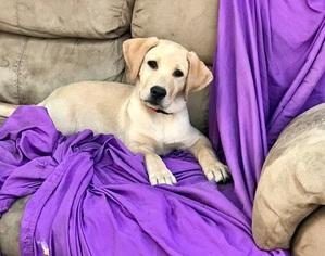 Labrador Retriever Puppy For Sale in WINTON, CA, USA